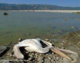 Επιστημονικά «ξίφη» για τα νεκρά πουλιά στη λίμνηΚάρλα
