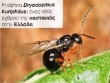 Η σφήκα Dryocosmus kuriphilus: ένας νέος εχθρός της καστανιάς στηνΕλλάδα