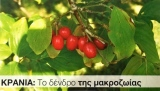ΚΡΑΝΙΑ: Το δένδρο τηςμακροζωίας