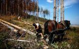 Πευκοδάση στη Βουλγαρία απειλούνται από φλοιοφάγοέντομο