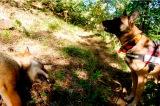 Μαζική δηλητηρίαση ποιμενικών σκύλων σε περιοχή τηςΚαλαμπάκας