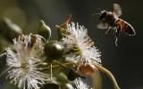ΗΠΑ: Στα απειλούμενα είδη οιμέλισσες