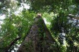 Στα πόδια του Κιλιμάντζαρο το ψηλότερο δέντρο τηςΑφρικής