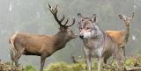Έρευνα: Η επίδραση των λύκων στα ελάφια τηςΠάρνηθας