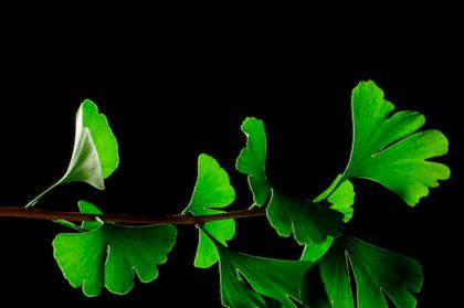 ginkgo_biloba_leaves_-_black_background