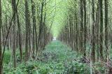 Ημερίδες για παραγωγή βιομάζας από φυτείες ταχυαυξών δασικώνειδών