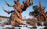 Η κλιματική αλλαγή απειλεί τα παλαιότερα δέντρα τουκόσμου