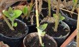 Δ/νση Δασών Ηλείας: Πειραματική εγκατάσταση μεπαυλώνιες