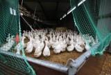 Γαλλία: Χιλιάδες πάπιες και χήνες θα σφαγιαστούν για να περιοριστεί η επιδημία της γρίπης τωνπτηνών