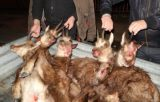 Νέα αναβολή στη δίκη για την λαθροθηρία των έξιαγριόγιδων