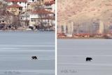 Αρκουδάκι σουλατσάριζε επί ώρες πάνω στην παγωμένη λίμνη της Καστοριάς!(φωτο)