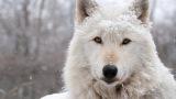 Όλη η ομορφιά του αρκτικού λύκου σε έναβίντεο