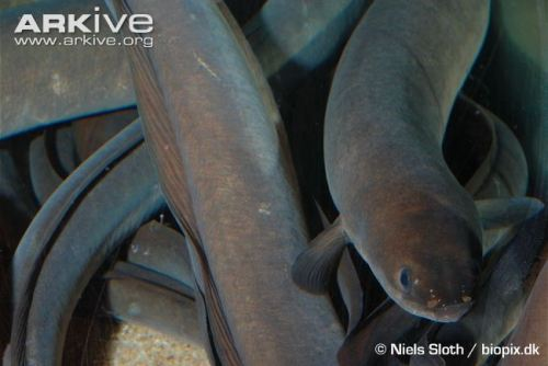 european-eels-swimming-www-arkive-org