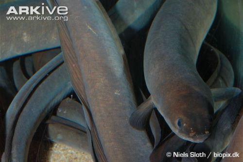 european-eels-swimming-www-arkive-org