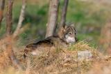 Ιταλία: Αναβολή της θανάτωσης λύκων μετά από έντονεςδιαμαρτυρίες