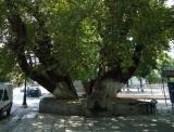 Κήρυξη αιωνόβιου πλατάνου Σεβαστειανών ως «Διατηρητέου Μνημείου τηςΦύσης»