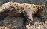 Νεκρή αρκούδα από δηλητηριασμένο δόλωμα. «Τριγυρνούσε» περιμετρικά τηςΦλώρινας