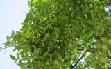 Ενημερωτική εκδήλωση: «Αμπελιτσιά: το απειλούμενο, ενδημικό δέντρο τηςΚρήτης»