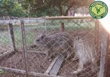 Παγίδα-κλουβί με δυο μικρούς αγριόχοιρους εντόπισαν θηροφύλακες τηςΓ΄ΚΟΠ
