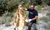 Η ΟΑΕ του ΑΡΚΤΟΥΡΟΥ βρήκε κατεργασμένο δέρμααρκούδας