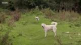 Νεκροί δύο ελληνικοί ποιμενικοί σκύλοι από δηλητηριασμέναδολώματα