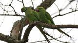 Η καθημερινότητα των πράσινων …παπαγάλων στηνπόλη