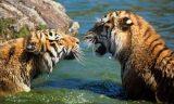 Καζακστάν: Επιστροφή άγριων τίγρεων μετά από 70χρόνια