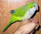 Παπαγάλοι, εισβολείς στο Μεξικό και όχιμόνον