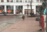 Τρόμος από τα αγριογούρουνα σε πόλη της Γερμανίας – Εισβολή σε τράπεζα με τέσσεριςτραυματίες