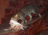 Οι γάτες στην Αυστραλία σκοτώνουν ένα εκατομμύριο πουλιά τηνημέρα!