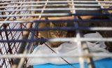 Δ/νση Δασών Χανίων: Απελευθερώθηκε στο φυσικό του περιβάλλον ο «φουρόγατος» τηςΚρήτης