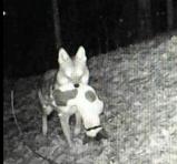 Σχολιασμός για δημοσίευμα που αφορά επιθέσεις λύκων σε κυνηγόσκυλα στο διαδίκτυο με χρήση ψευδών πληροφοριών προς χειραγώγηση της κοινήςγνώμης