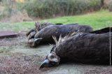 Νεκροί Μαυρόγυπες από πιθανή χρήση δηλητηριασμένου δολώματος(φωτο)