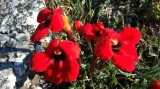 Το μοναδικό κόκκινο λουλουδένιο «χαλάκι» τηςΠρέσπας