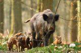 Προς μαζική εξόντωση αγριόχοιρων στηΓερμανία
