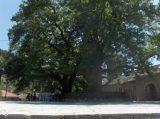Τα δέντρα…γίγαντες τηςΚύπρου