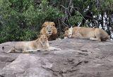 Λαθροκυνηγός κατασπαράχθηκε από αγέλη λιονταριών σε καταφύγιο της ΝότιαςΑφρικής