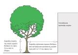 Κλάδεμα δένδρων σκίασης: το ταξίδι της ανατροφής από τη φύτευση ως την ωριμότητα (ΜέροςA´)