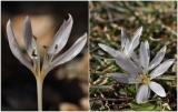 Colchicum asteranthum: ένα από τα σπανιότερα κολχικά τηςΕλλάδας