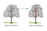 Κλάδεμα δένδρων σκίασης: το ταξίδι της ανατροφής από τη φύτευση ως την ωριμότητα (ΜέροςΒ΄)