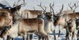 Κίνα: Εισαγωγή ταράνδων από την Ολλανδία για τη διατήρηση τουείδους