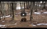 Ήρθε η άνοιξη, ξύπνησαν οι αρκούδες(Video)