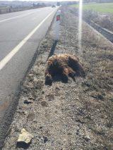 Νεκρή αρκούδα νεαρής ηλικίας εντοπίστηκε σε επαρχιακόδρόμο