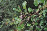 Alnus glutinosa: τo σκλήθρο που στερεώνει πολύ αποτελεσματικά τιςόχθες