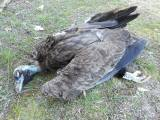 Νεκρός Μαυρόγυπας από χρήση δηλητηριασμένουδολώματος