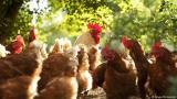 Κοτόπουλα – οι εναλλακτικοίσκουπιδοφάγοι