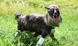 Εφτιαξαν ρομπότ – λύκους για να φοβίζουν ταζώα